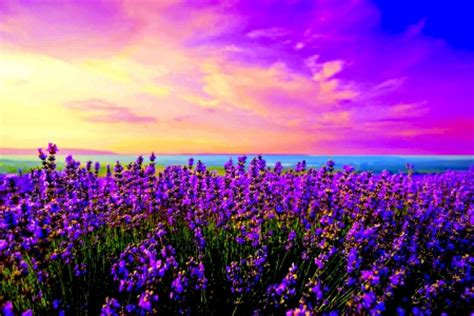 lavender field fields nature background wallpapers
