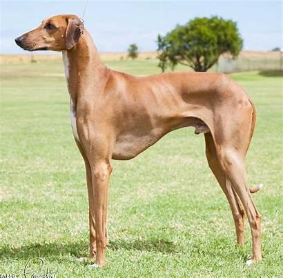 Azawakh Dog Breed Puppies Breeds
