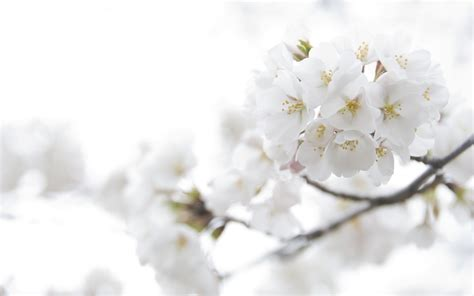 White Flower Background White Flowers Background Wallpaper 2560x1600 23715