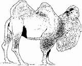 Camel Coloring Pages Bactrian Camels Printable Animals Realistic Drawing Supercoloring Dromedary Wildlife Shaggy Silhouettes sketch template