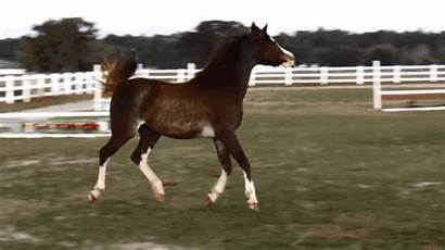 Horse Arabian Field Trot She Does Dance