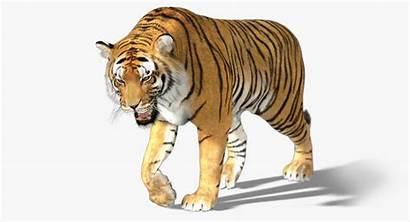 Tiger Fur Animation 3d Turbosquid Animals Animated