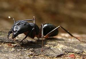 Ameisen Mit Flügel In Der Wohnung : kleine ameisen im haus ameisen bek mpfen im haus in der wohnung 22 wirksame mittel plantopedia ~ Orissabook.com Haus und Dekorationen