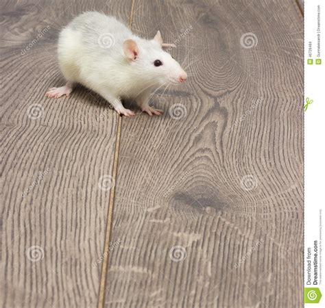 White Pet Rat Stock Photo - Image: 46728484