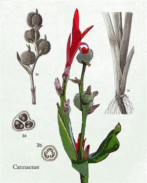flower cannaceae images  pinterest
