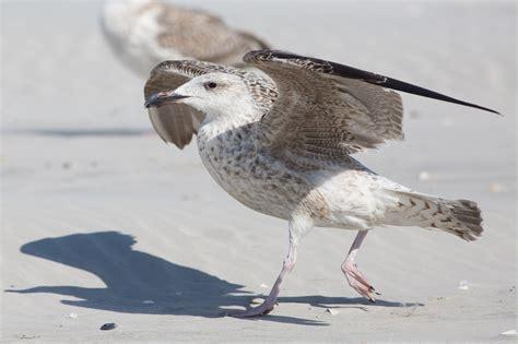 Great Blackbacked Gull  Idaho Birds