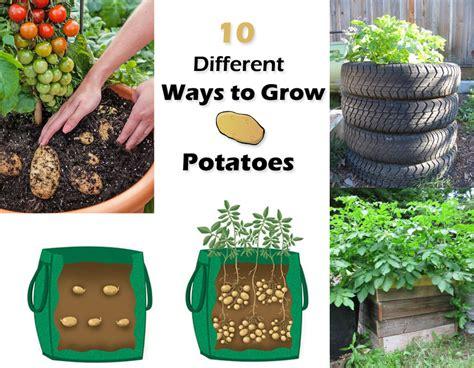 how to grow potatoes 10 ways to grow potatoes potato planting ideas balcony garden web