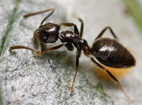 termites  ants pest control stl