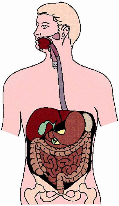 Digestive System Diagram Clip Unlabeled Labeled Clipart