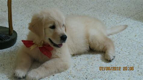 golden retriever puppies  salehima  dogs