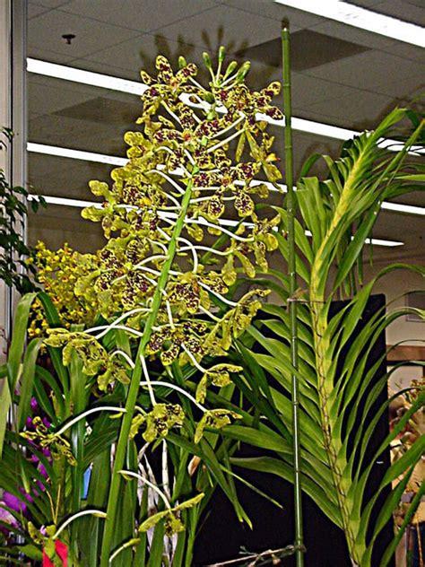 orchids care anggrek tebu grammatophyllum speciosum anggrek terbesar