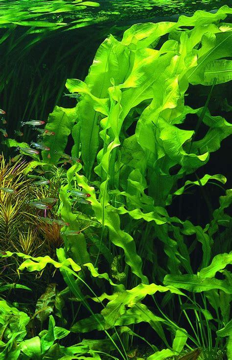 les plantes d eau douce