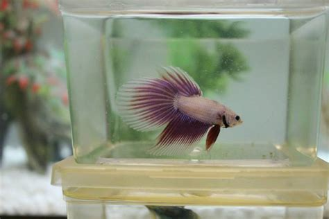 genetics  betta fish tail types  aquarium club