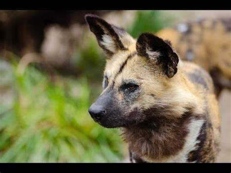 african wild dog youtube