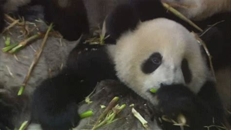panda eating pictures   images  facebook