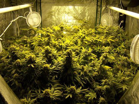 marijuana grow lights reader growing pics 2015 collection grow easy