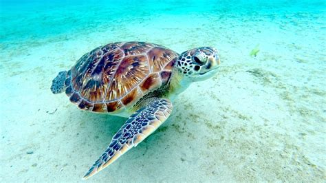 les tortues de l anse dufour lovely planet