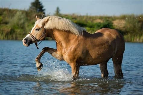 haflinger horse horses breed breeds blooded cold warm vs characteristics distinguished choosing features very hanoverian most trail dressage vera zinkova