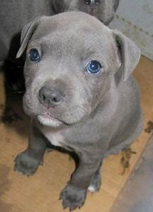 Blue Grey Staffy. | Staffordshire bull terrier | Pinterest ...