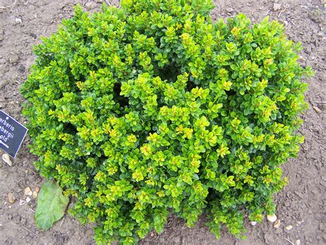 green shrubs berberis stenophylla
