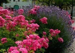 Rosen Und Lavendel : lavendula lavendel und rosen pflege d nger rosend nger ~ Yasmunasinghe.com Haus und Dekorationen