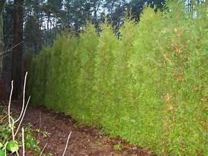 Lebensbaum Hecke Schneiden : thuja brabant pflege thuja lebensbaum 39 brabant 39 immergr ne hecke bei baldur thuja pflanzen ~ Eleganceandgraceweddings.com Haus und Dekorationen