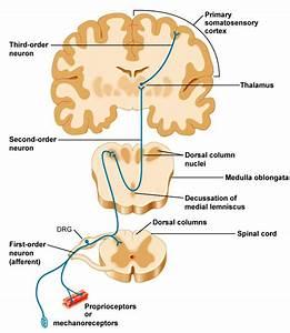 dorsal column medial lemniscus pathway animation