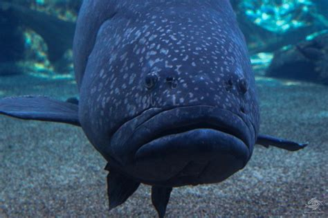 giant grouper facts seaunseen groupers epinephelus reproduction photographs lanceolatus