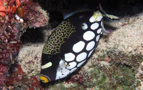 clown triggerfish oceana