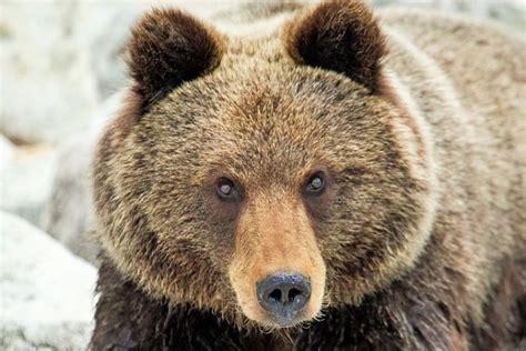 Семейство медвежьи — Жизнь животных. — М. Государственное издательство географической литературы