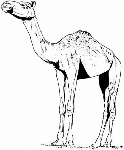Camel Coloring Pages Camels Animals Printable Drawing