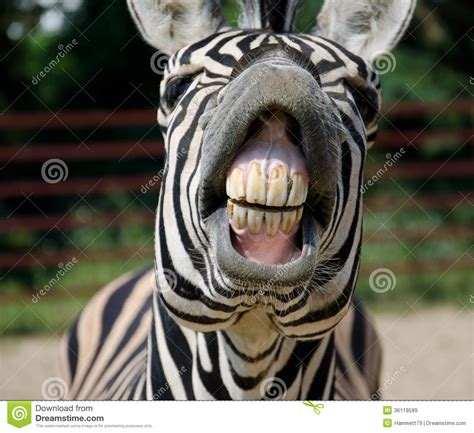 Funny Zebra Stock Photos  Royalty Free Pictures