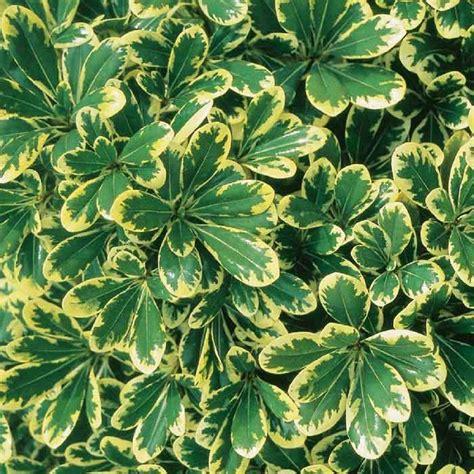 Southern Living Plant Collection 2 Gal Mojo Pittosporum