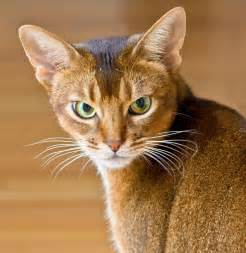 abyssinian cat for abyssinian cats cats