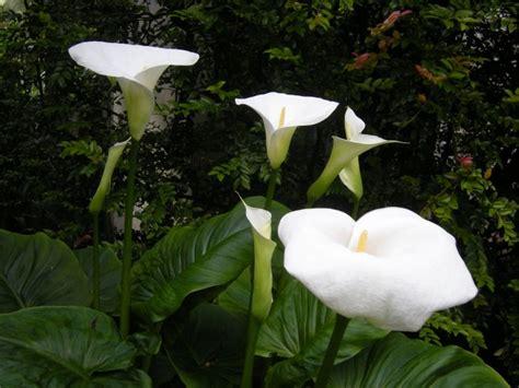 z aethiopica zantedeschia aethiopica crowborough richarde arum d ethiopie arum des fleuristes