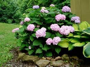 Endless Summer Hydrangea Plants