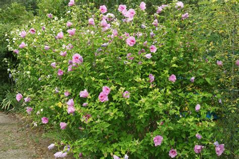 hibiskus im winter gartenhibiskus hibiscus syriacus