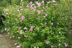 Gartenhibiskus Vermehren Stecklinge : gartenhibiskus hibiscus syriacus ~ Lizthompson.info Haus und Dekorationen