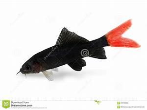 Queue De Poisson Voiture : poissons bicolores d 39 aquarium d 39 epalzeorhynchos de poisson chat de requin de queue du feu rouge ~ Maxctalentgroup.com Avis de Voitures