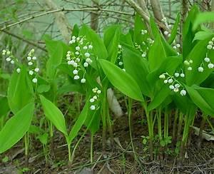 Van Der Maiglöckchen : convallaria majalis l european lily of the valley ~ Lizthompson.info Haus und Dekorationen