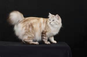 american longhair cat animals wiki pictures stories july 2011