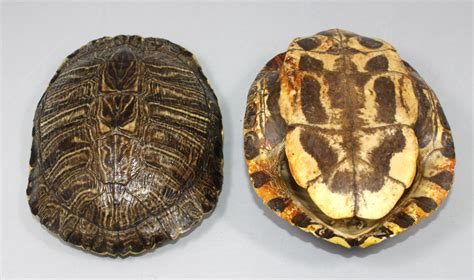 turtle shell turtle shell