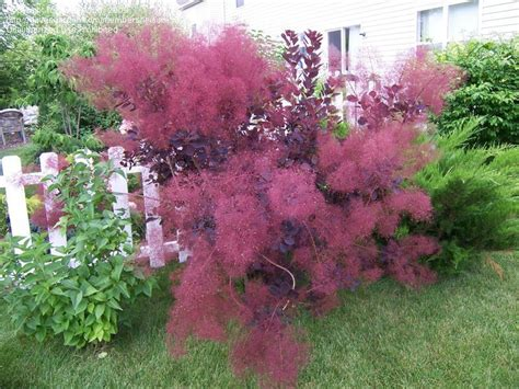 smoke tree plantfiles pictures smoke tree velvet cloak cotinus coggygria by leisure500