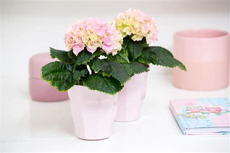 cultiver un hortensia en pot 28 images comment cultiver de beaux hortensias jardiland