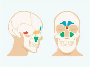 Sinus Cavities In The Head  Anatomy  Diagram  U0026 Pictures
