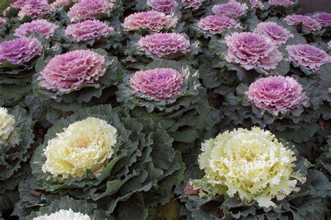 decorative cabbage and kale file ornamental kale jpg wikipedia