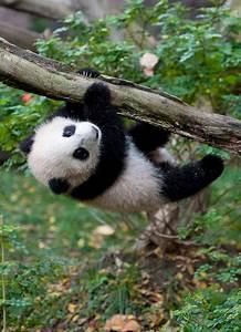 Cute Baby Panda Bears | cute video of a baby panda bear at ...