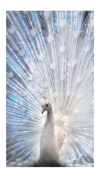 Peacock Animated Decent Scraps Code Peacocks Gifs