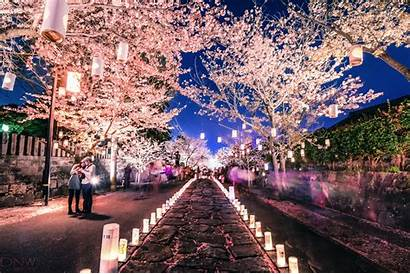 Blossom Cherry Festival Japan Sakura Night Anime