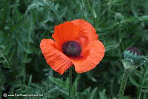 poppy flower picture opium poppy picture flower pictures 1040